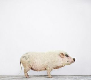 Pig_montrose